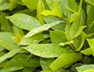 Planter un laurier-sauce dans son jardin