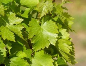 Planter de la vigne vierge