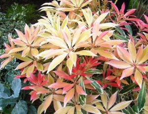 Pieris Flaming Silver - © Truffaut