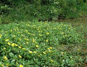 La jussie, une plante invasive