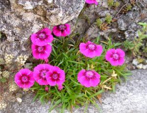 L'œillet des Alpes (Dianthus alpinus)
