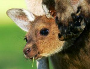 Jeune kangourou dans la poche marsupiale