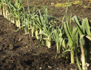 Planter, cultiver et récolter des poireaux