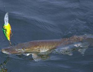 L'efficacité des poissons nageurs n'est plus à prouver