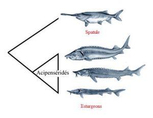 La spatule est un acipensériforme, cela signifie que c'est un proche parent des esturgeons