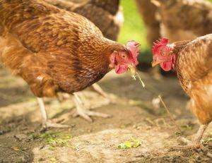 Le ministère de l'Agriculture et l'ANSES viennent d'officialiser un cas de grippe aviaire - le premier depuis 2007