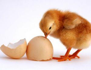 …qui de la poule ou de l'oeuf ?