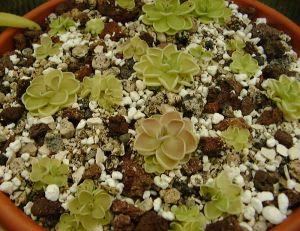 Perlite et plantes succulentes