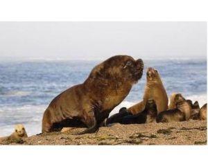 Lion de mer mâle accompagné de son harem