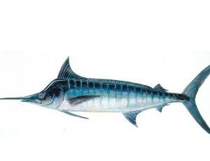 Marlin bleu ©Alain Diringer