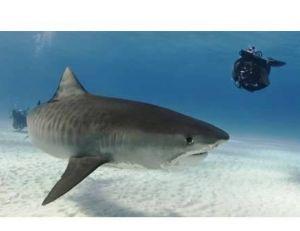 Requin tigre avec un plongeur