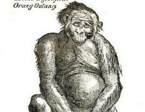 Une des premières représentations des orangs-outans, Tulpius 1641