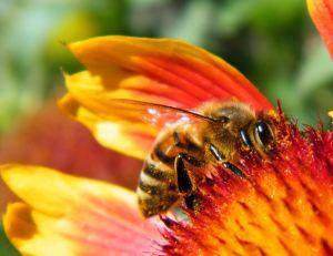 Attirer les abeilles dans son jardin