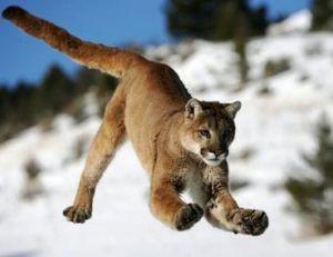 Le puma est aussi un animal de montagne
