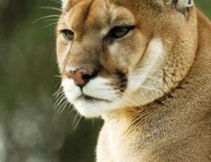 Puma mâle adulte