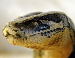 Tête de python molure