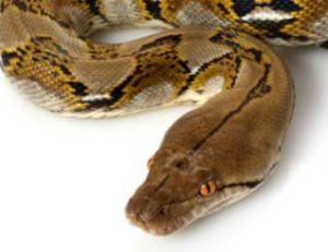 Python réticulé