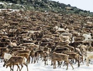 Rassemblement annuel de rennes en Laponie