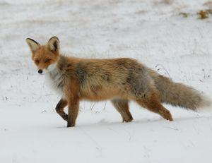 L'hiver, la fourrure du renard est plus épaisse