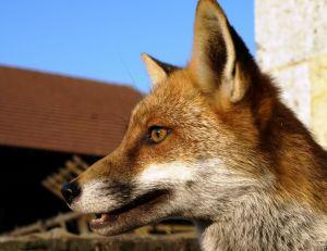 Un renard autour des maisons