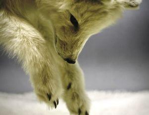 Renard arctique mulotant dans la neige
