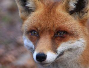 Un regard de renard qui en dit long...