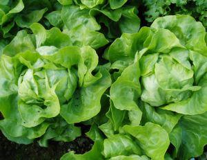 Cultiver des salades au potager