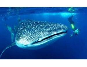 Un requin-baleine adulte pèse environ 400 fois le poids d'un homme