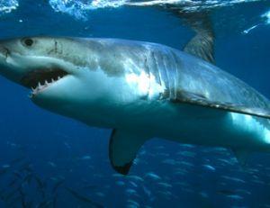 Un requin blanc de belle taille