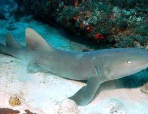 Requin-nourrice