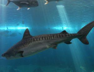 Requin-tigre sous un banc de carangues