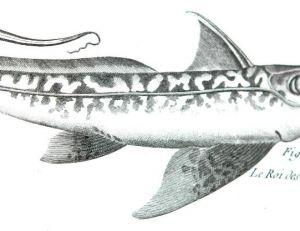 """Le régalec ou """"le roi des harengs"""", illustration 19ème siècle"""