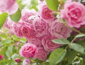 Les roses à l'honneur