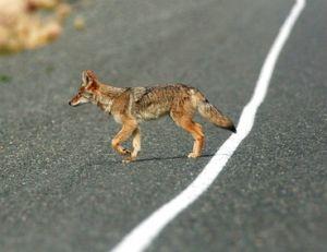 Le coyote se rapproche des villes