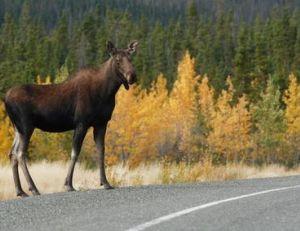 Une femelle élan sur une route du nord de la Suède au début de l'automne…