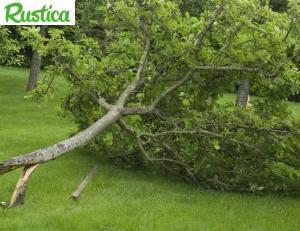 Un arbre s'effondrant à cause du vent -© C. Hochet