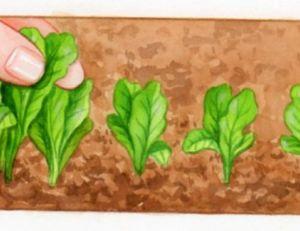 Eclaircissage des semis
