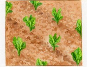 Repiquage de la salade
