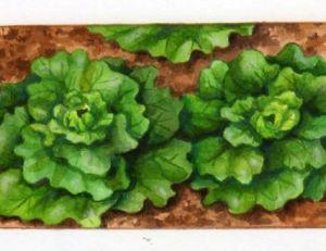 Salade prête à être récoltée
