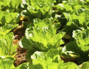 Plus d'1 salade sur 10 contient des pesticides