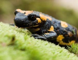 sa/salamandre-tachetee-1.jpg