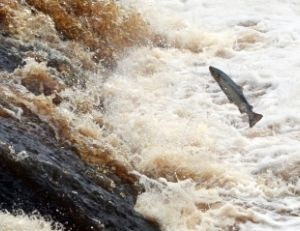 Saumon remontant une rivière pour se reproduire
