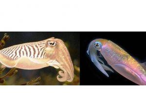 Seiche et calamar