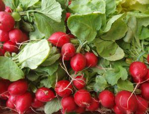 Culture des radis toute l'année