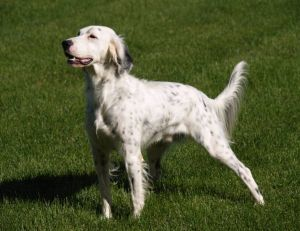 Adopter un chien : le Setter anglais