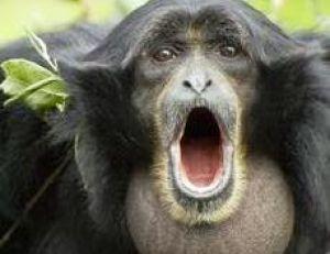 Un siamang adulte en pleine séance de vocalises