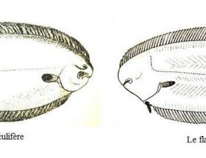 Les deux flancs oculifère et aveugle