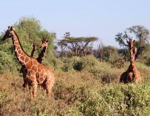 Le bruits des girafes découvert