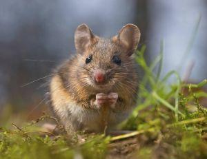Une étude vient de démontrer que les spermatozoïdes des souris sont plus imposants que ceux des éléphants