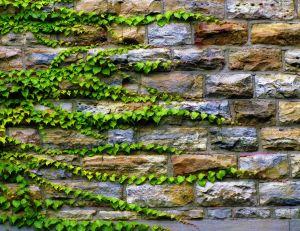 Ampelopsis sur un mur